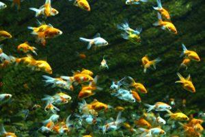 たくさんの金魚