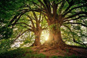 おおきな2本の木